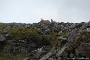 Brecan Beacon Wanderung Schafe
